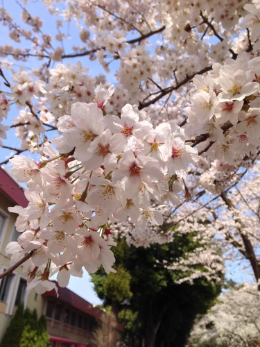 廣池学園桜